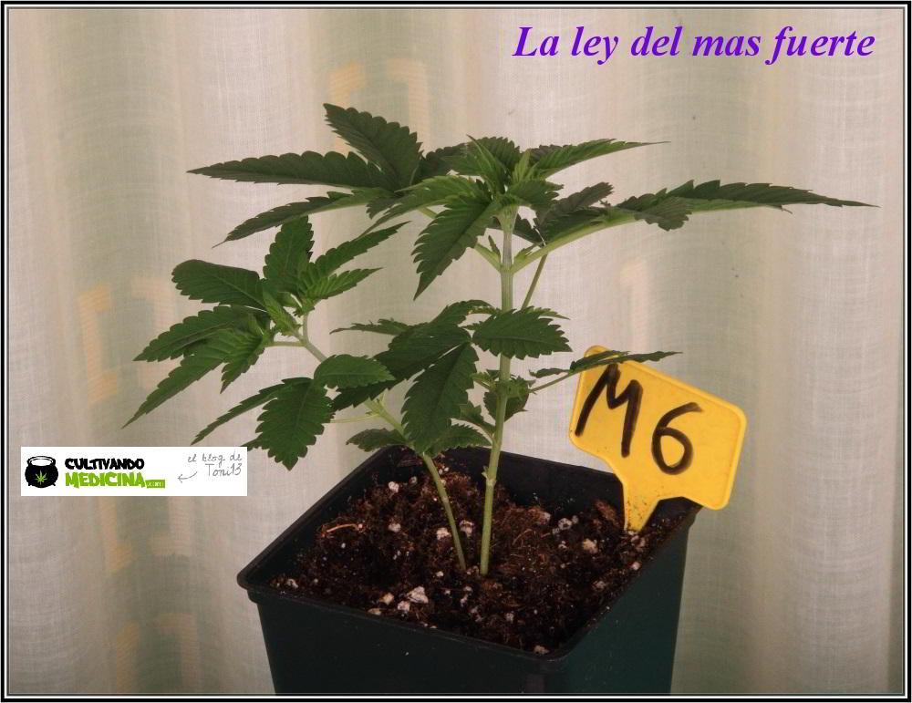 8- 23 días de crecimiento vegetativo en el cultivo de marihuana: la ley del mas fuerte