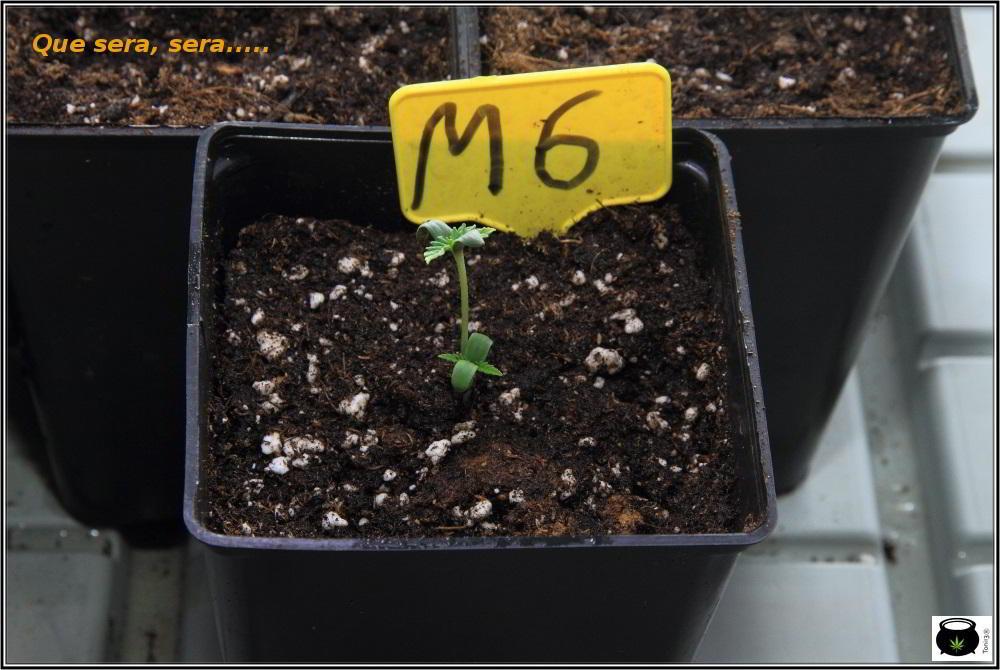 8- 23 días de crecimiento vegetativo en el cultivo: la ley del mas fuerte 2