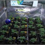 9- 25 días de crecimiento vegetativo: se trasplanta a contenedor puente