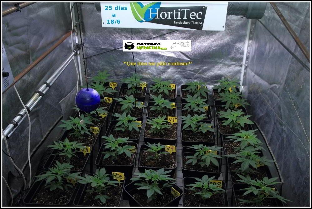 9- 25 días de crecimiento vegetativo: se trasplanta a contenedor puente 1