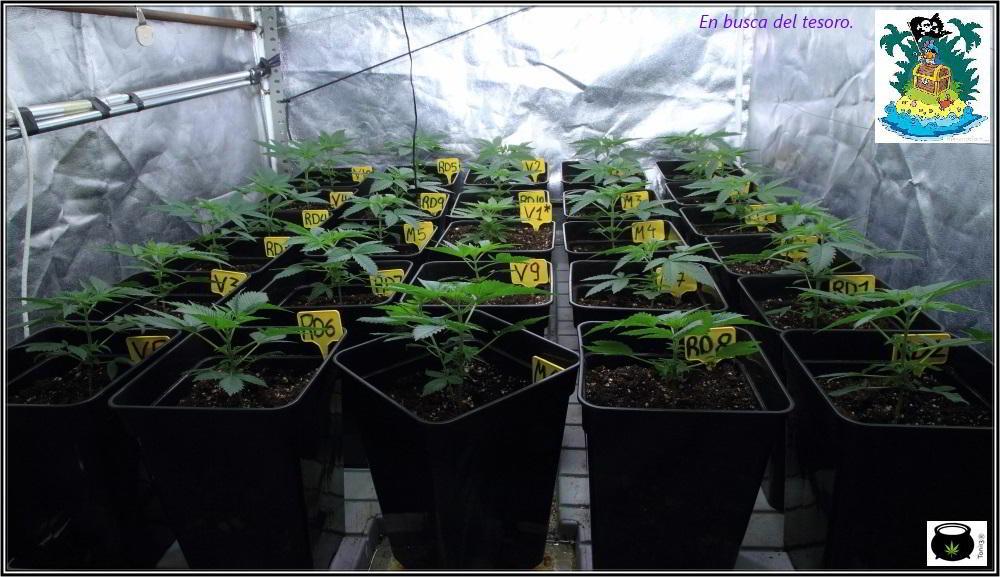 9- 25 días de crecimiento vegetativo: se trasplanta a contenedor puente 2