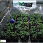 10- 28 días de crecimiento vegetativo en el cultivo: controlando la altura