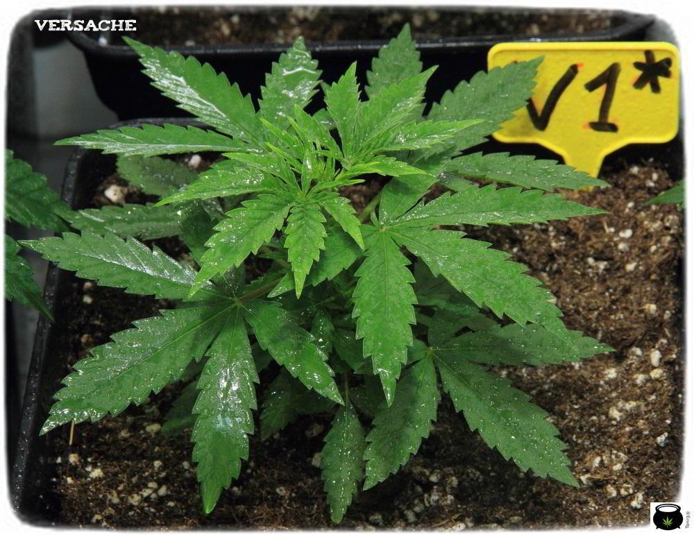 10- 28 días de crecimiento vegetativo en el cultivo de marihuana: controlando la altura 4