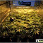 13- Actualización del cultivo de marihuana: 4 días a 12/12
