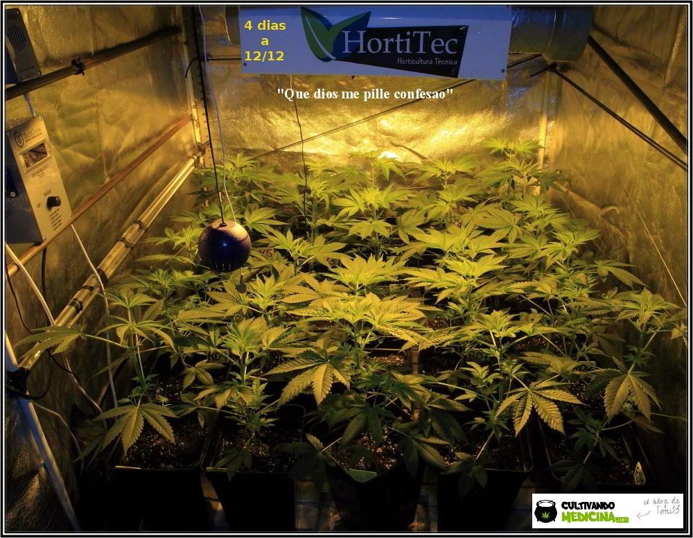 13- Actualización del cultivo de marihuana: 4 días a 12/12 1