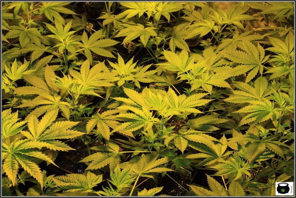 13- Actualización del cultivo de marihuana: 4 días a 12/12 2
