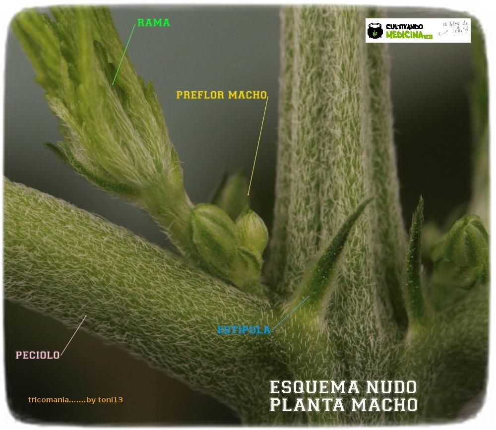 diferenciar planta macho hembra preflor marihuana