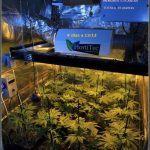 15- 9 días a 12/12: comienza la transformación del cultivo de marihuana
