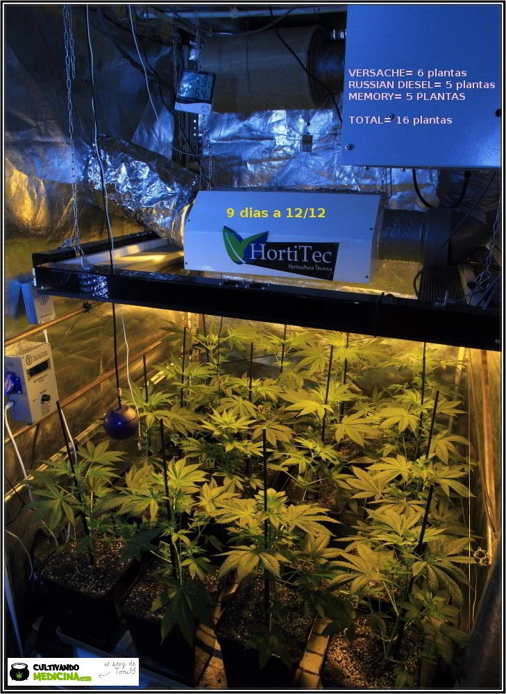 15- 9 días a 12/12: comienza la transformación del cultivo de marihuana 1