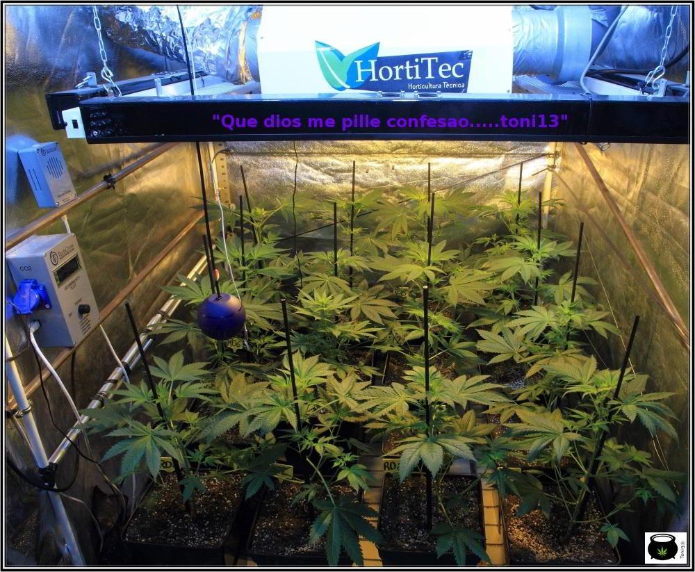 15- 9 días a 12/12: comienza la transformación del cultivo de marihuana 2