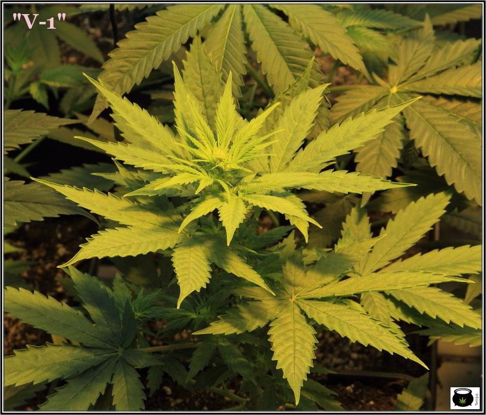 15- 9 días a 12/12: comienza la transformación del cultivo de marihuana 3
