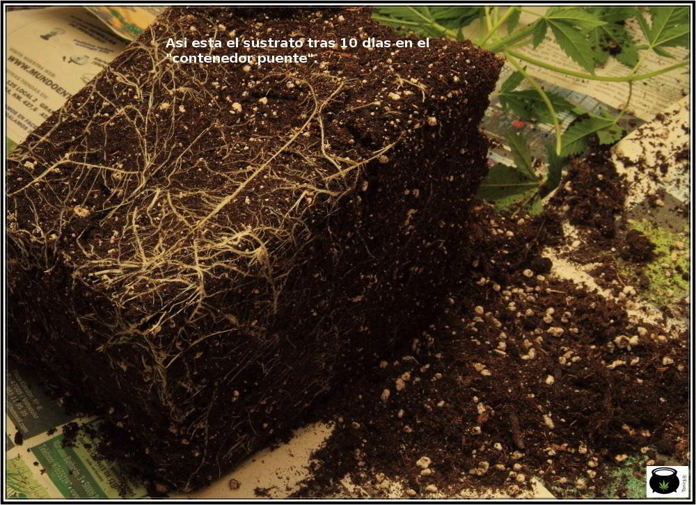 15- 9 días a 12/12: comienza la transformación del cultivo de marihuana 4