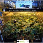 18- Actualización general del cultivo de marihuana: 14 días a 12/12