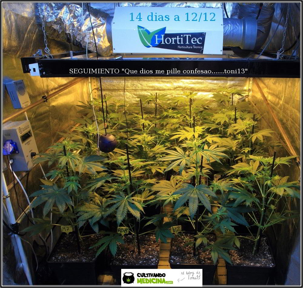 18- Actualización general del cultivo de marihuana: 14 días a 12/12 1
