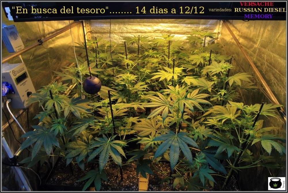18- Actualización general del cultivo de marihuana: 14 días a 12/12 2