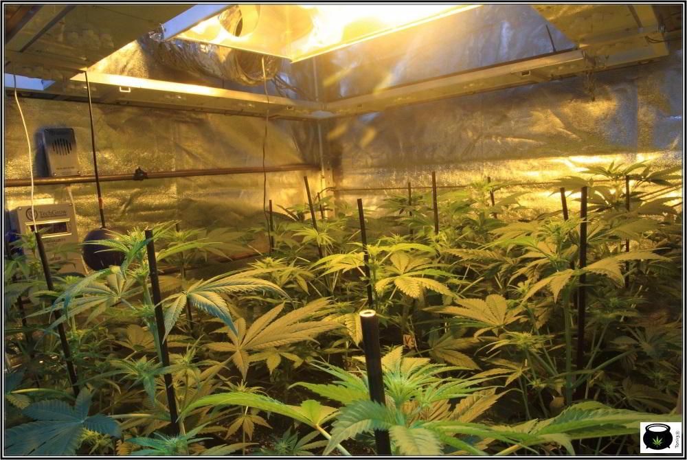18- Actualización general del cultivo de marihuana: 14 días a 12/12 3