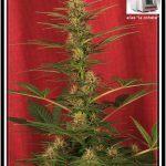 21- Actualización del cultivo de marihuana 23 días a 12/12: V-1 hay color