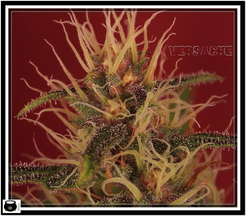 planta de marihuana Versache 1 de semilla regular 4