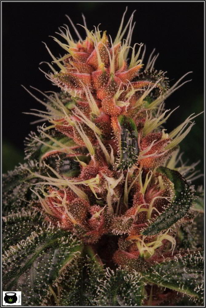 foto portada cannabis encyclopedia jorge cervantes 1