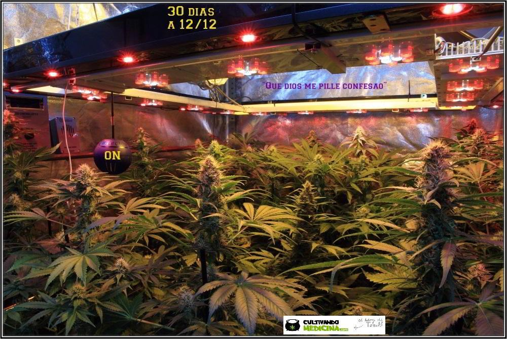 22- 30 días a 12/12: el CO2 esta haciendo bien su trabajo en el cultivo