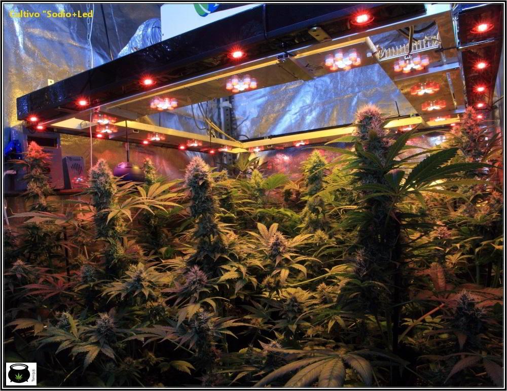 cultivo de marihuana interior sodio led 1