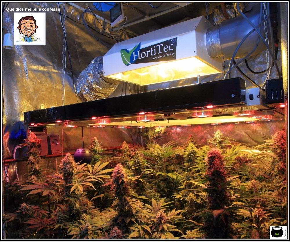 cultivo de marihuana interior sodio led 2