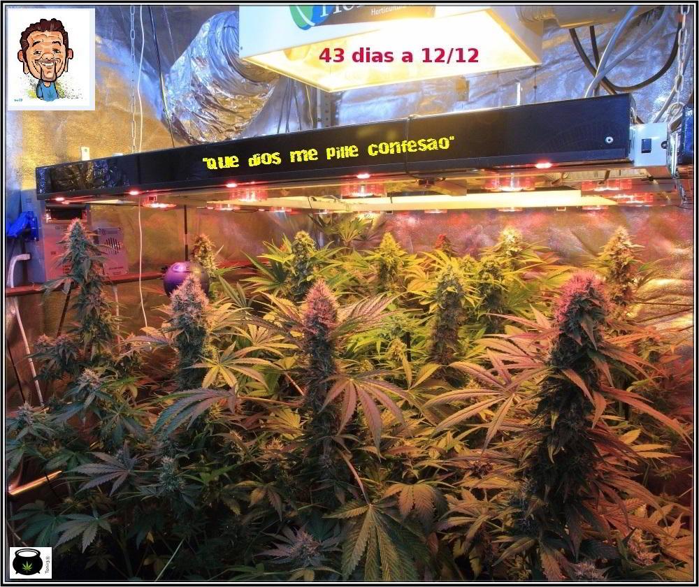 Actualización del cultivo: 43 días a 12/12: Ya estamos en 7º semana a 12/12