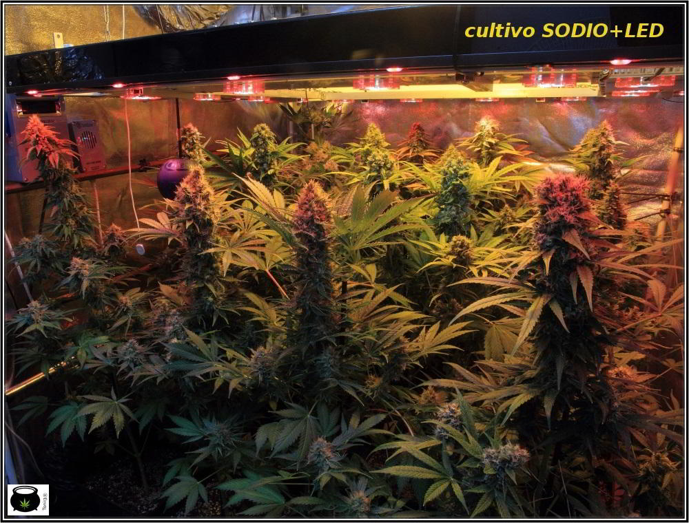 semillas regulares de marihuana en cultivo de interior