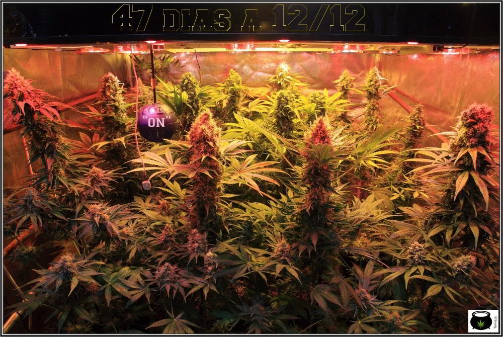 cultivo de marihuana de interior con variedades regulares