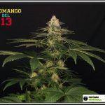 fotografías amigos de toni13: SOMANGO DEL 13 Variedad de marihuana