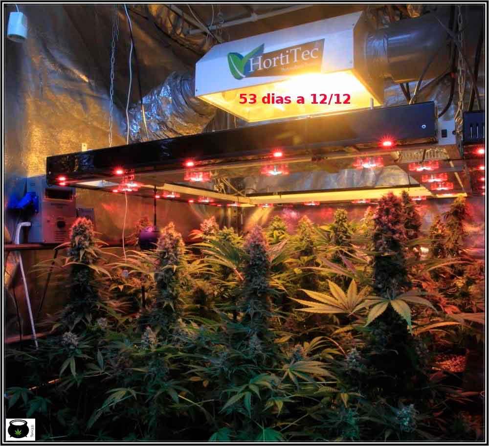 cultivo de marihuana de semillas regulares de Toni13