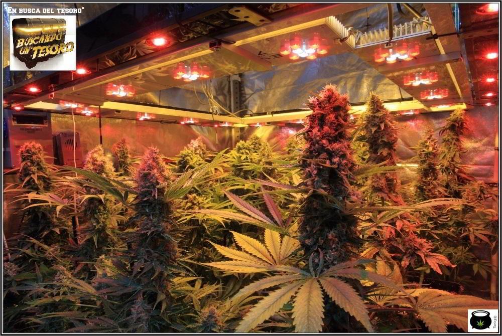 cultivo de marihuana de semillas regulares de Toni13 4