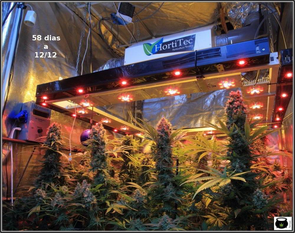 Botrytis - Cómo prevenirla en cultivos de marihuana, actuación y consejos 2