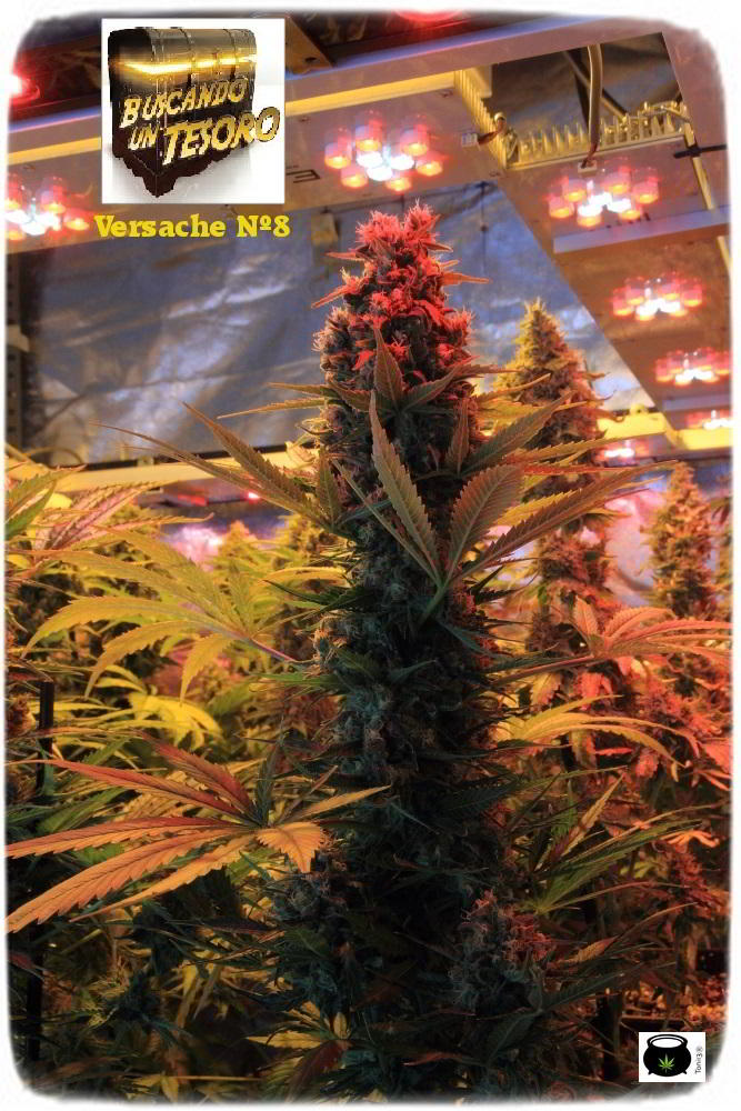 cultivo de marihuana interior semillas regulares hortitec toni13 5