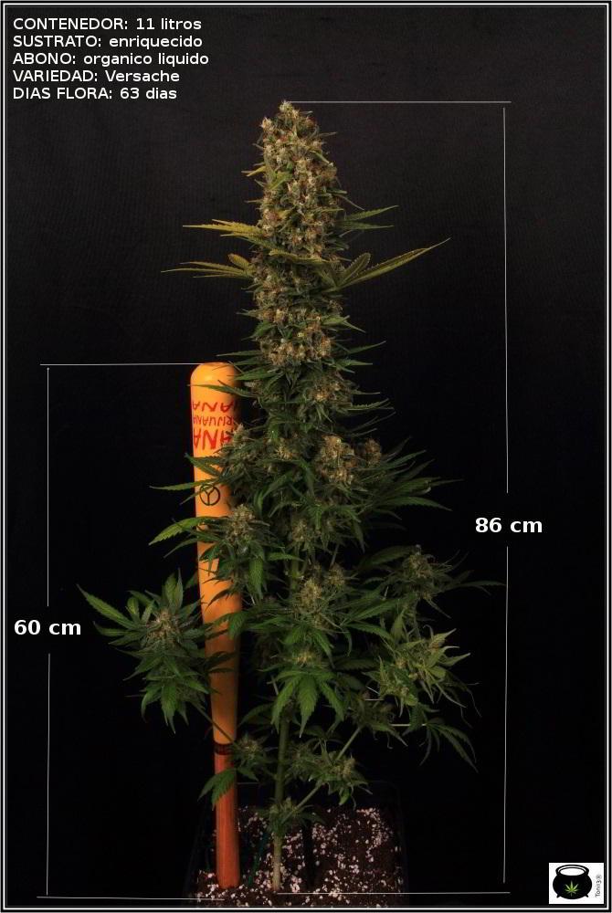 planta marihuana optimizada con CO2 y abonos organicos