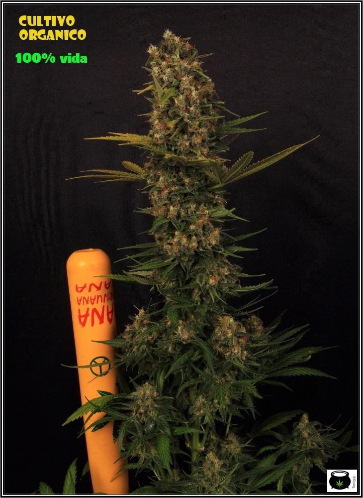 Planta de marihuana con un plan de cultivo nutricional orgánico