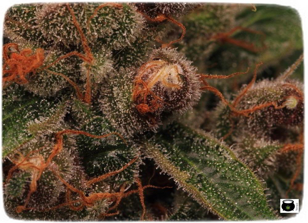 Planta de marihuana semilla regular cultivo Toni13 Biobizz 4