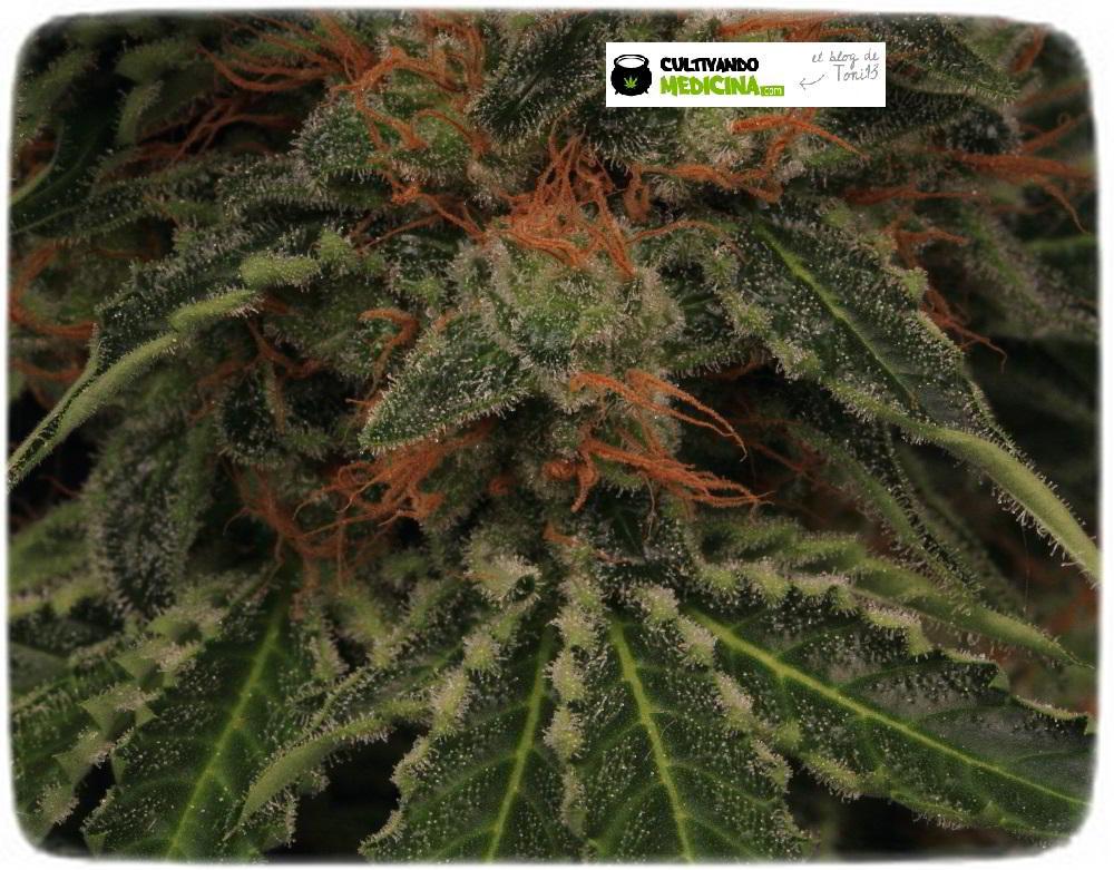 Planta de marihuana semilla regular cultivo Toni13 Biobizz 5