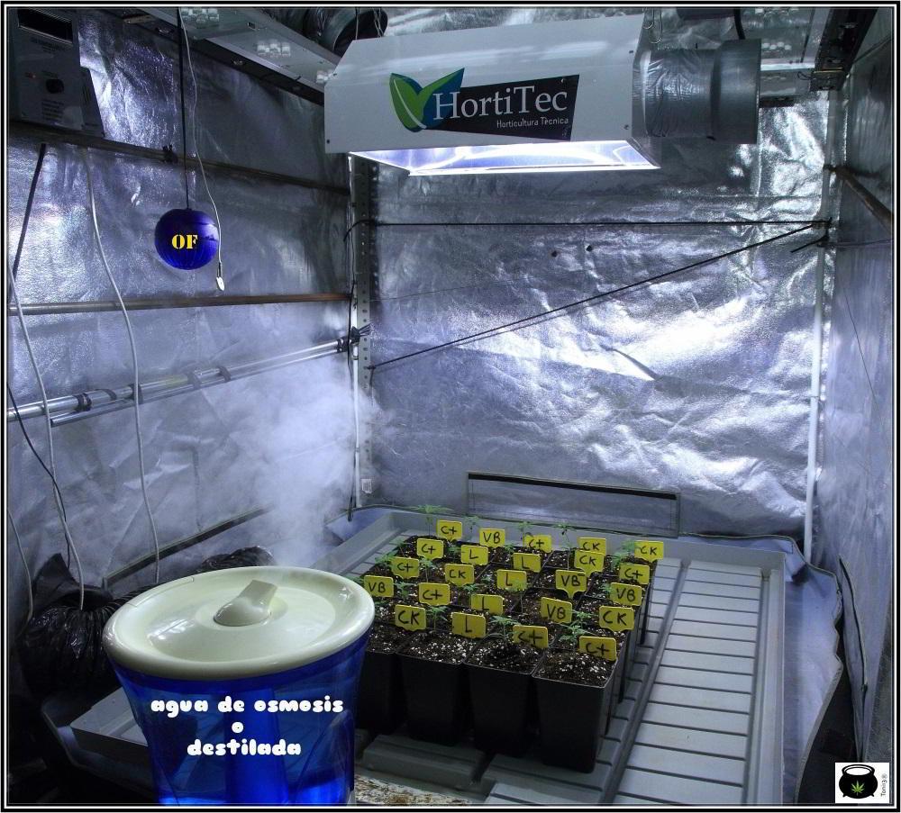 Nuevo seguimiento de Toni13: De 4 en 4 con semillas de Venus Genetics 2
