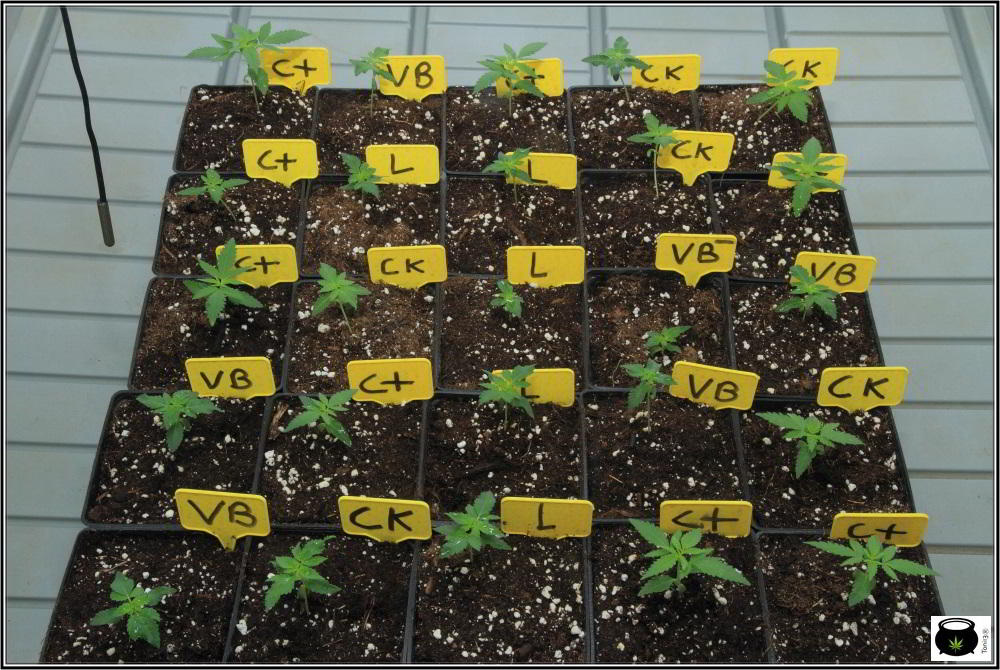 Nuevo seguimiento de Toni13: De 4 en 4 con semillas de Venus Genetics 4