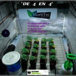1.3- 7º nudo: 16 semillas feminizadas del banco Venus Genetics elegidas
