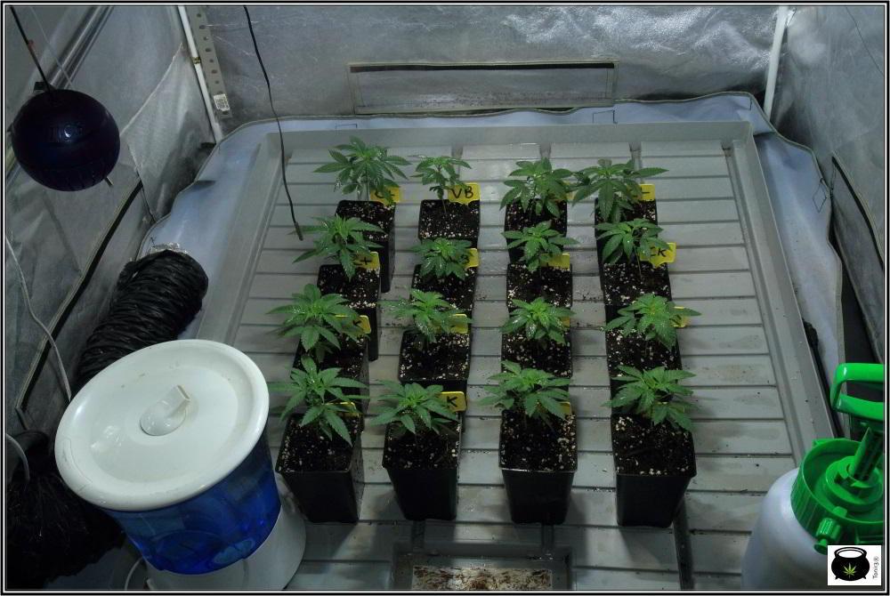 cultivo de marihuana semillas feminizadas del banco Venus Genetics elegidas 2