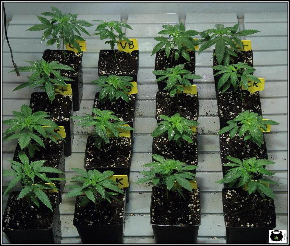 1.3- 7º nudo: 16 semillas feminizadas del banco Venus Genetics elegidas 3