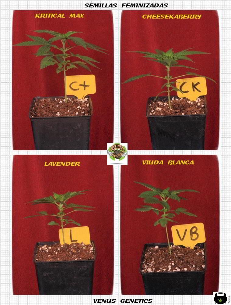 1.3- 7º nudo: 16 semillas feminizadas del banco Venus Genetics elegidas 4