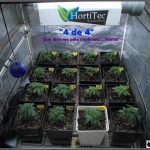 1.4- Trasplante a maceta definitiva de 11 litros de las plantas de marihuana