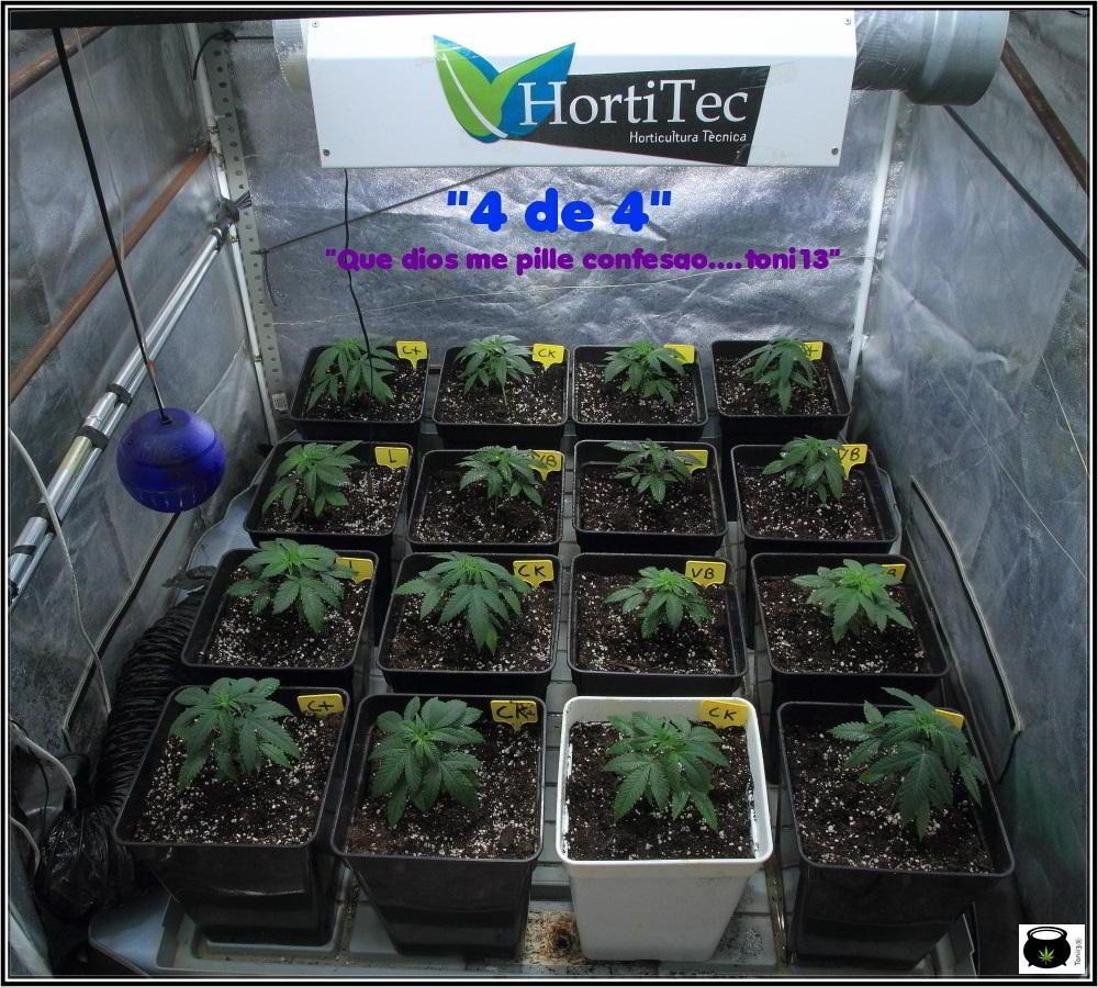 1.4- Trasplante a maceta definitiva de 11 litros de las plantas de marihuana 1