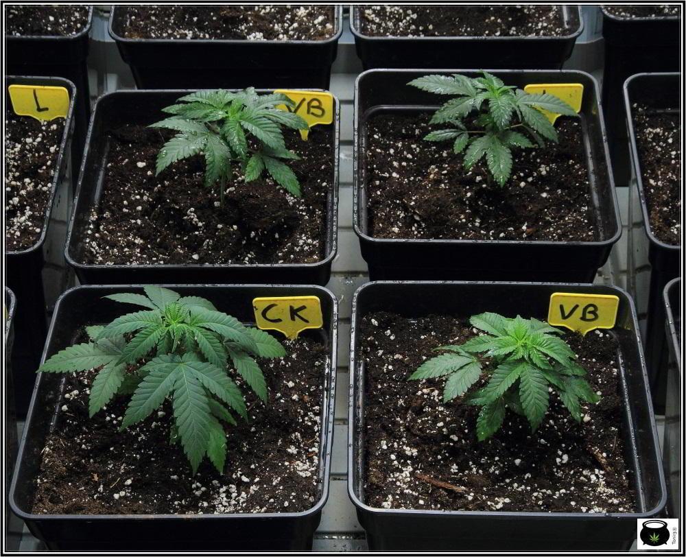 1.4- Trasplante a maceta definitiva de 11 litros de las plantas de marihuana 2