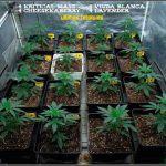 1.5- En breve el cultivo de marihuana de semillas feminizadas cambia a floración