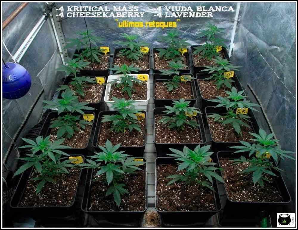 1.5- En breve el cultivo de marihuana de semillas feminizadas cambia a floración 1