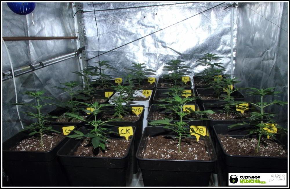1.5- En breve el cultivo de marihuana de semillas feminizadas cambia a floración 2